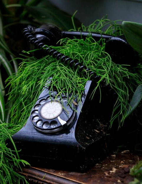 An old telephone planted with rhypsalis