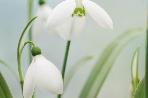 Galanthus elwesii 'Marjorie Brown'