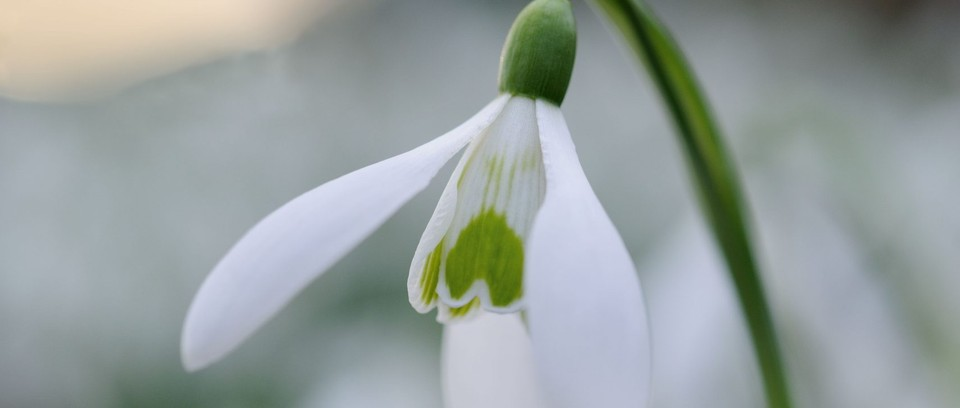 Snowdrops For Your Garden Gardens Illustrated
