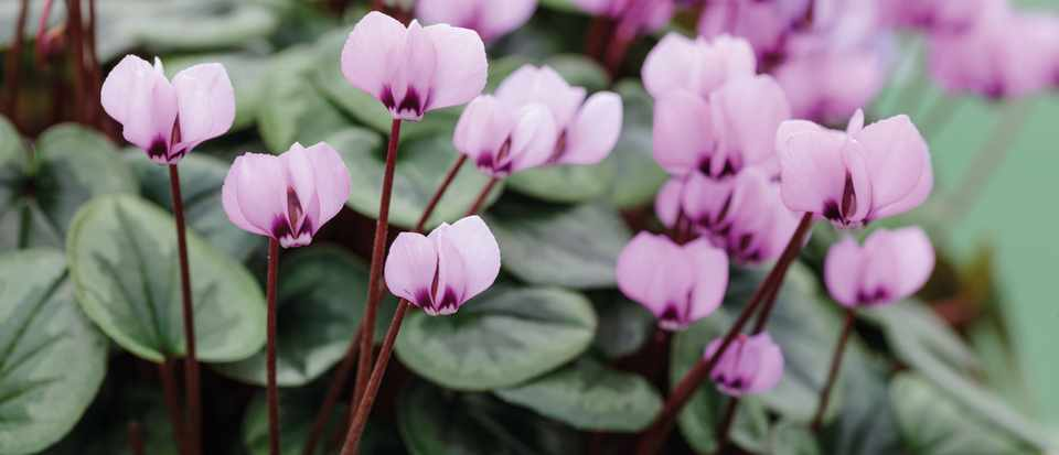 Cyclamen: How to care for cyclamen and growing tips