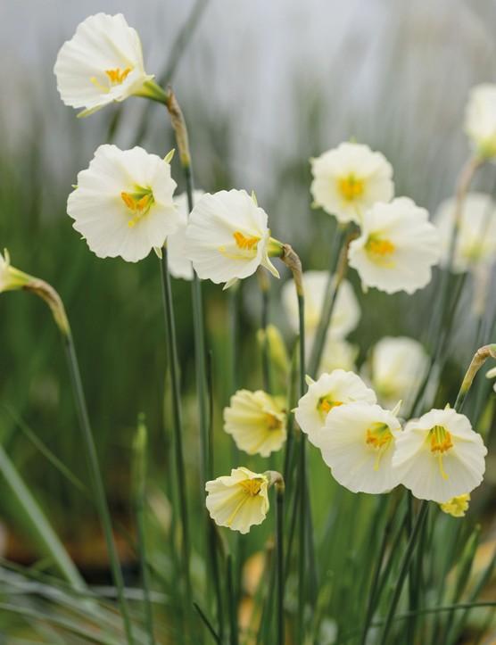 Narcissus 'Spoirot'