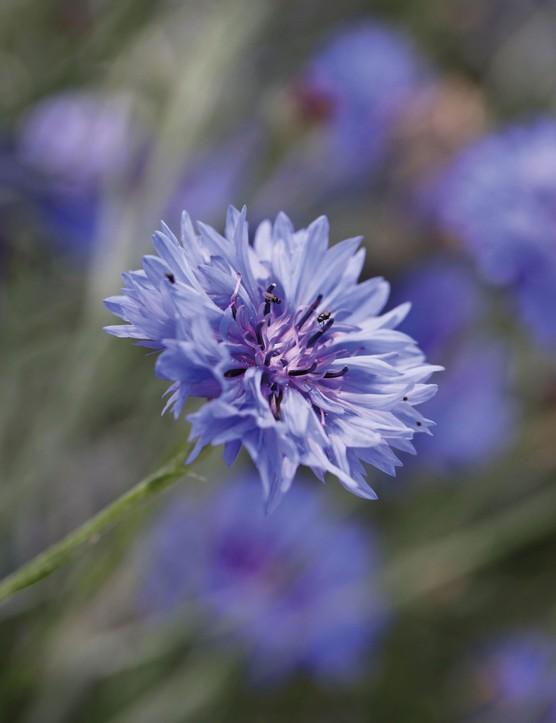 Cornflower 'Blue Boy'