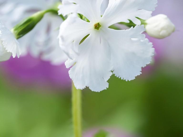Primula sieboldii or Siebold primrose to grow