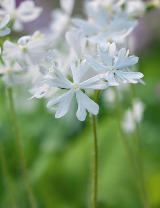 Primula sieboldii 'Aoba-no-fue'