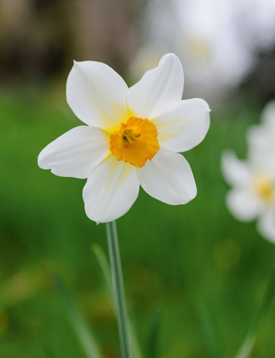 Narcissus 'Sunrise'