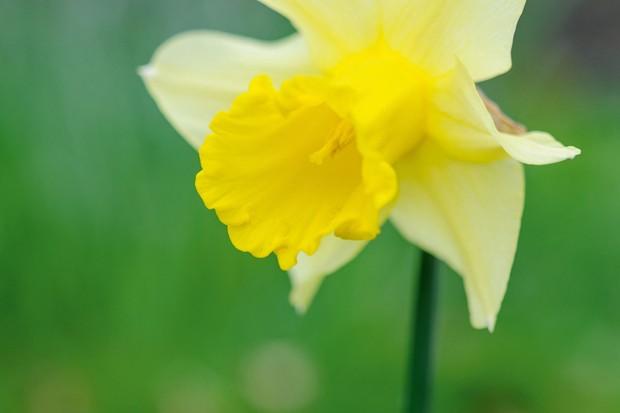 Narcissus 'Emperor'