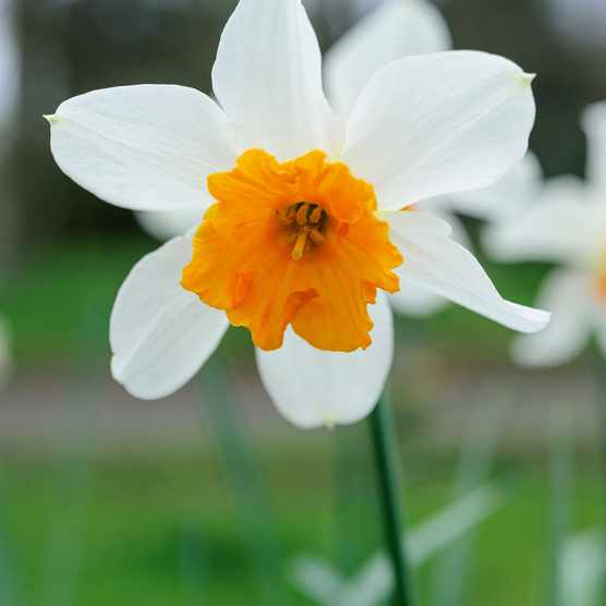 Narcissus 'Dick Wellband'