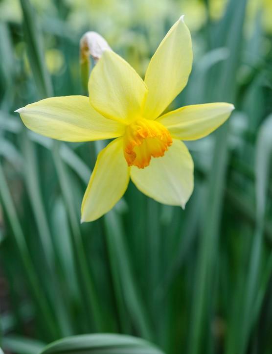 Narcissus 'Conspicuus'