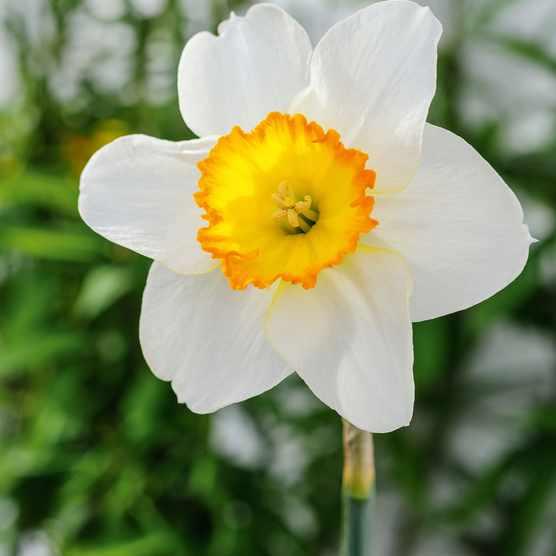 Narcissus 'Monique'
