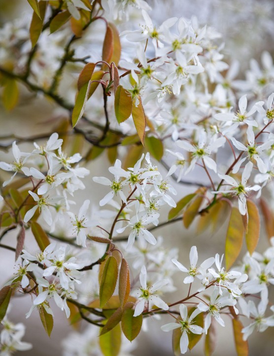 Amelanchier lamarckii, June berry. Wyken Hall Garden,