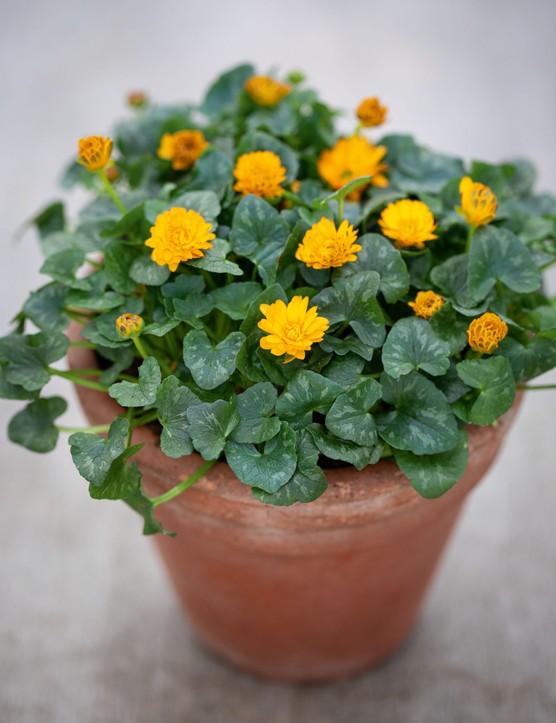 Ranunculus verna 'Nathalie', syn. Ranunculus ficaria 'Nathalie',