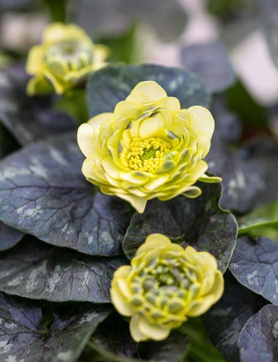 Ranunculus verna 'Florence', syn. Ranunculus ficaria 'Florence',