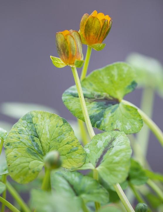Ranunculus verna 'Anita', syn. Ranunculus ficaria 'Anita',