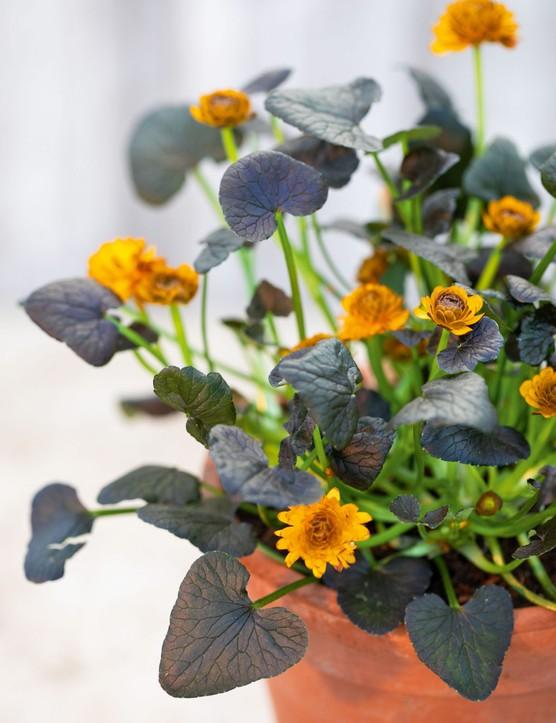 Ranunculus verna 'Jacquiline', syn. Ranunculus ficaria 'Jacquiline'