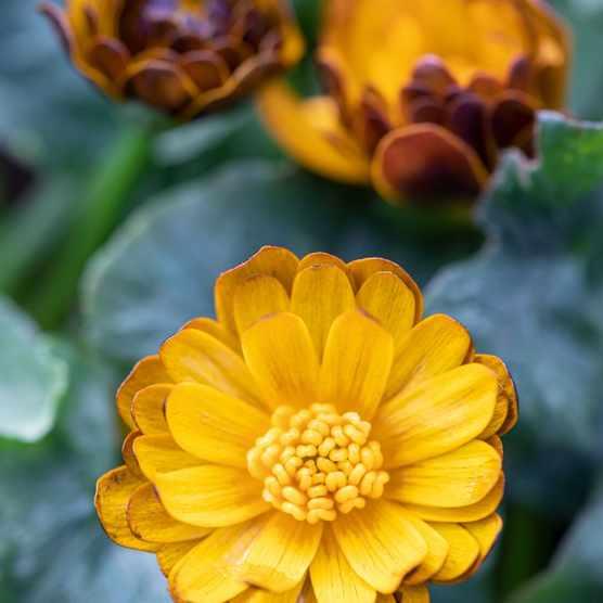 Ranunculus verna 'Monique', syn. Ranunculus ficaria 'Monique',