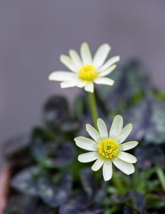 Ranunculus verna 'Snow Bunting', syn. Ranunculus ficaria 'Snow Bunting',