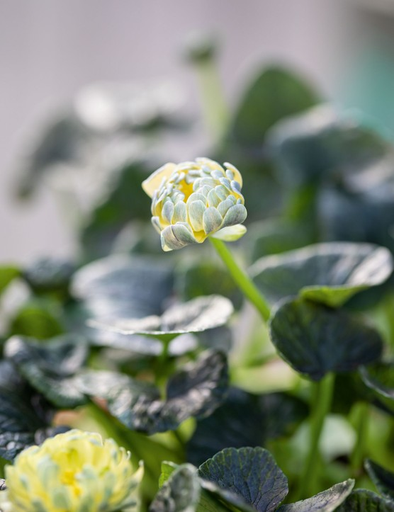 Ranunculus verna 'Sylvie', syn. Ranunculus ficaria 'Sylvie'