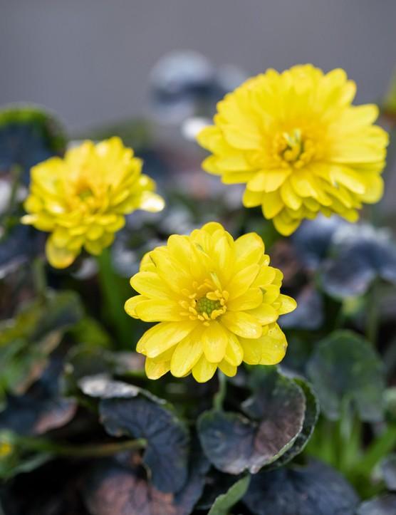 Ranunculus verna 'Angele', syn. Ranunculus ficaria 'Angele',