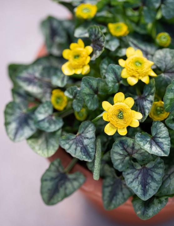Ranunculus verna 'Collarette', syn. Ranunculus ficaria 'Collarette',