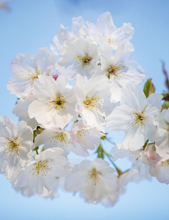 Prunus 'Tai-haku'