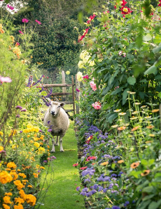 Deryck Boyd's sheep in his garden