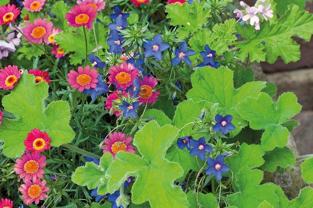 Mesembrianthemum 'Cherry Red' growing in a stone trough with Anagallis 'Angie Blue' and Pelargonium tomentosum
