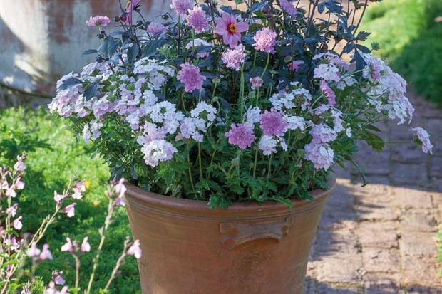 Terracotta pot with Scabiosa columbaria Flutter Rose Pink = 'Balfluttropi', Verbena EnduraScape™ White Blush and Dahlia 'Mystic Dreamer' syn. D. 'Zone Ten'