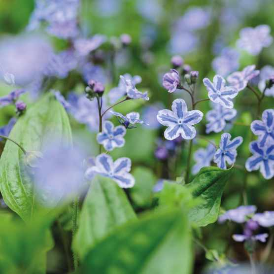 Omphalodes cappadocica 'Starry Eyes' forget-me-not