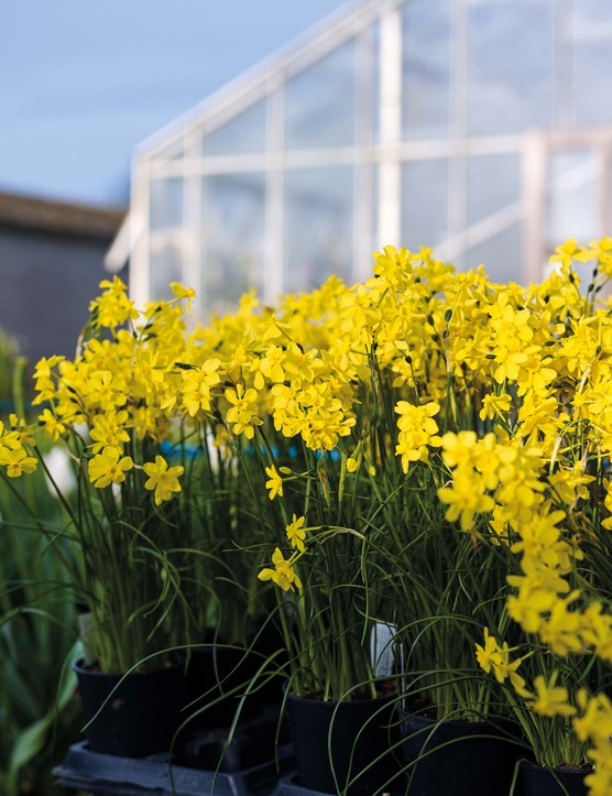 Narcissus fernandesii va. cordubensis