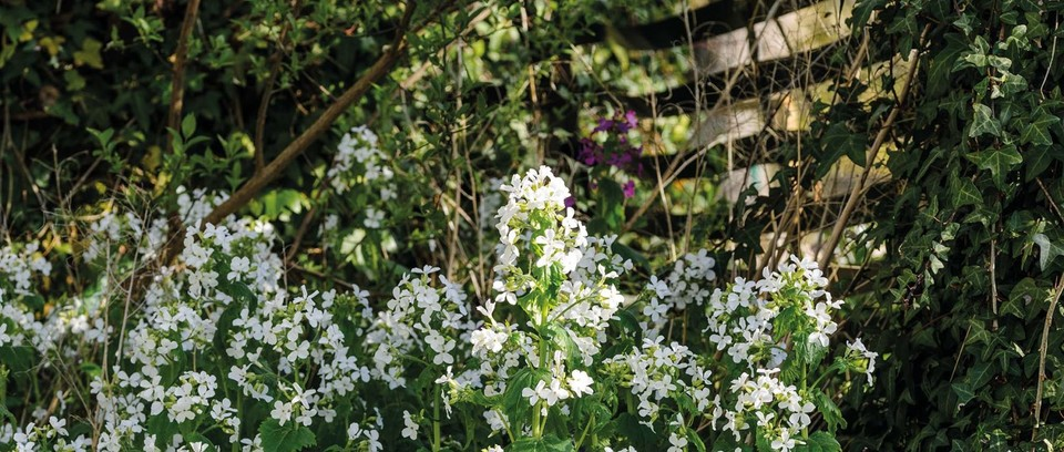 Lunaria annua var.albiflora