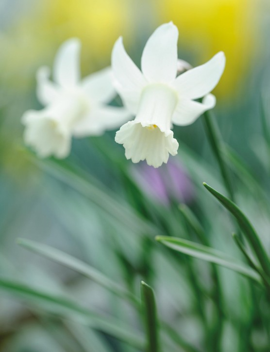 Miniature Narcissi: Narcissus 'Little Dryad'