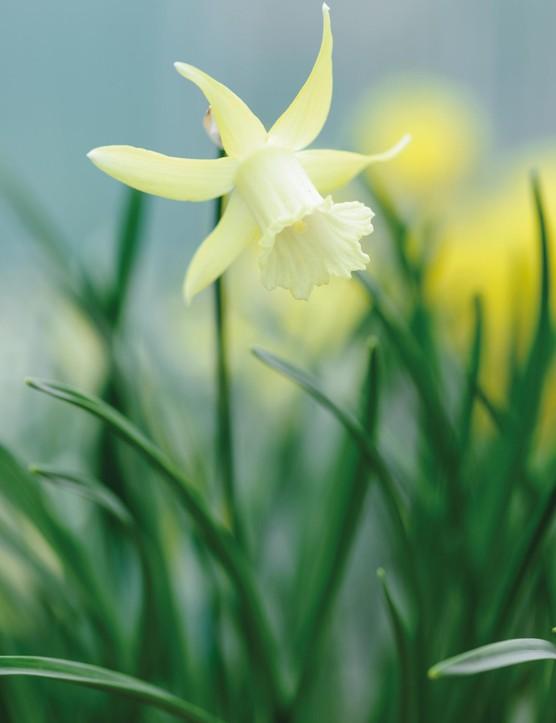 Miniature Narcissi: Narcissus 'Biondina'