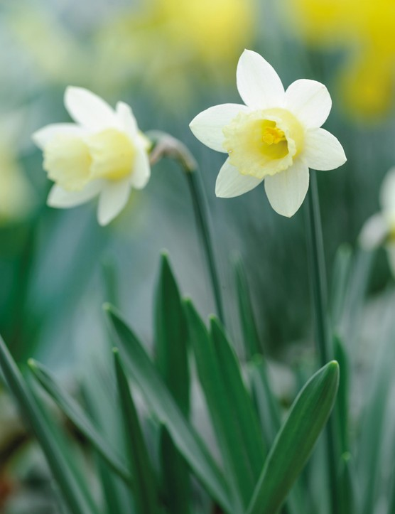 Miniature Narcissi: Narcissus 'Wee Dote'
