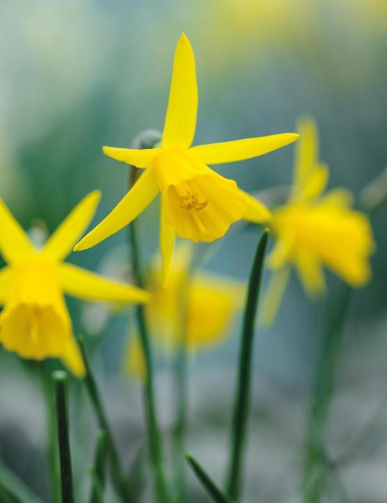 Miniature Narcissi: Narcissus 'Coo'