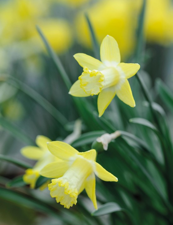 Miniature Narcissi: Narcissus 'Gipsy Queen'