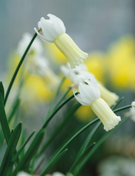 Miniature Narcissi: Narcissus 'Cheeky Chappie'