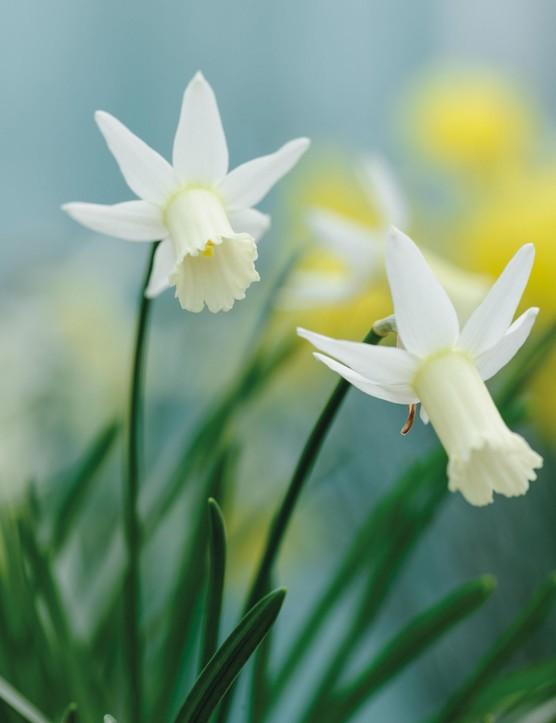 Miniature Narcissi: Narcissus 'Fling'