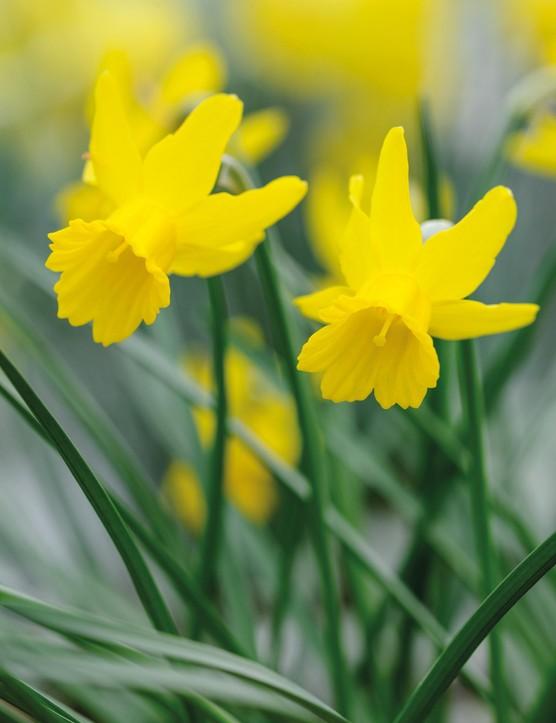 Miniature Narcissi: Narcissus 'Minionette'