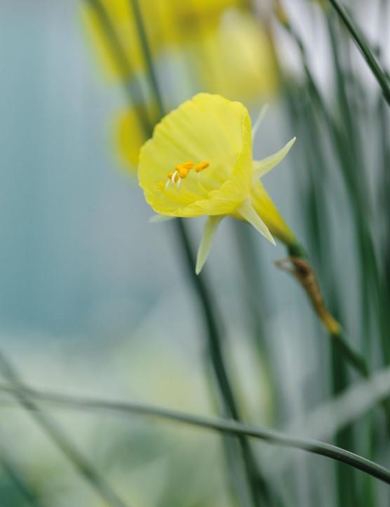 Miniature Narcissi: Narcissus 'Mitimoto'