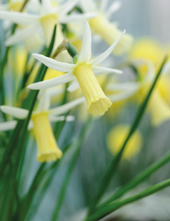 Miniature Narcissi