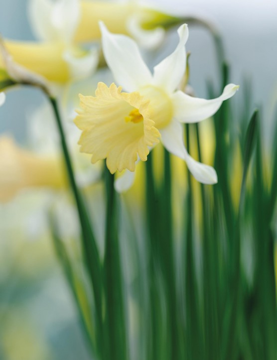 Miniature Narcissi: Narcissus 'Peach twist'