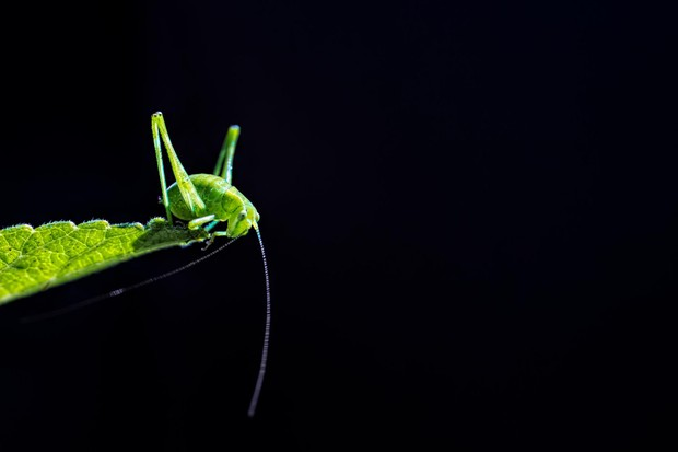 RHS Photographic Competition 2020, Under 18s, 1st place and overall young winner, Glowing green, A tiny bush cricket (Tettigoniidae family) is captured perching on a leaf within the expanse of Garigal National Park in Sydney, Australia.