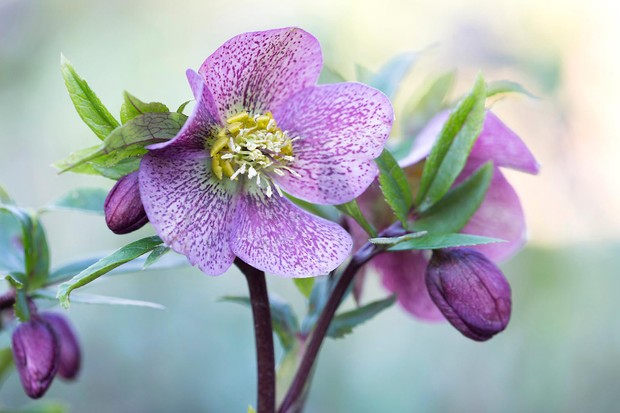 RHS Photographic Competition 2020, All about plants, First place, Helleborus