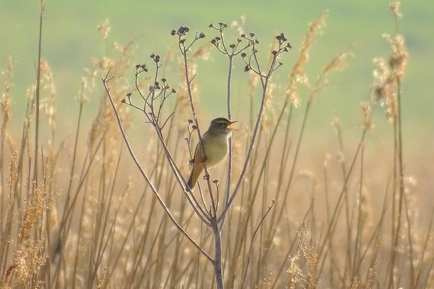 RHS Photographic Competition 2020, Under 11s, 2nd place, Sunrise in the reeds