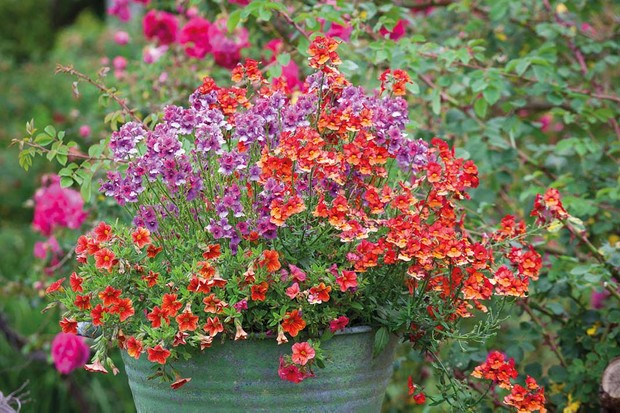 Container with Nemesia Framboise = 'Fleurfram', Nemesia Sunsatia Plus Papaya = 'Innemnewpa' (Sunsatia Plus Series) and Calibrachoa Million Bells 'Terracotta'