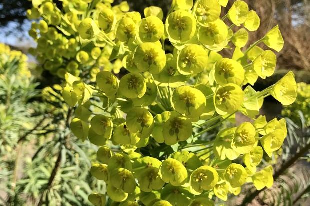 Euphorbia at West Dean Gardens