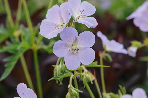 Geranium pratense 'Wisley Blue'