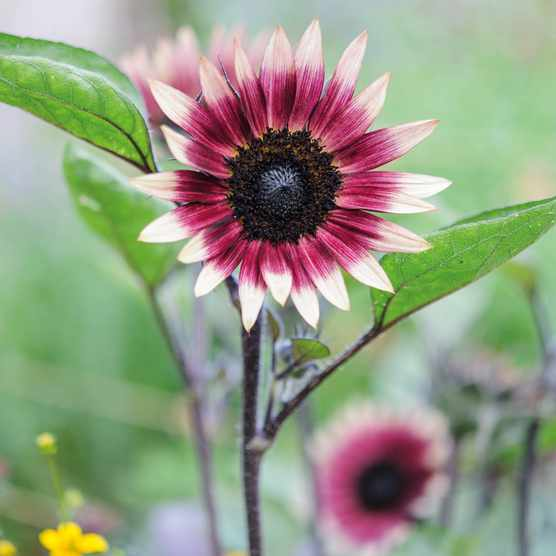 Helianthus 'Ms Mars' (Sunflower)