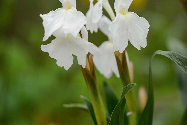 Roscoea 'Ice Maiden'