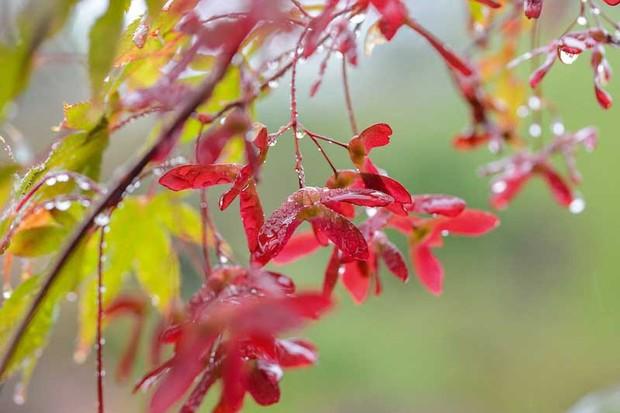Acer palmatum 'Matsukaze'